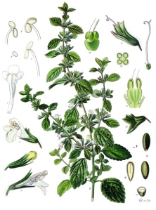 Melissa_officinalis_-_Köhler–s_Medizinal-Pflanzen-094